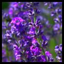 lavender e/o